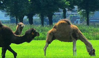 The only camel dairy farm in Europe